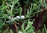 柏樹籽經常見,它的用途卻不小