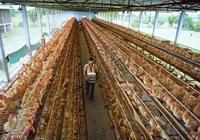 印度研究:家禽廢棄物或可傳播耐藥細菌