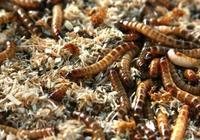 下崗工人也能致富,她靠養殖昆蟲改變人生