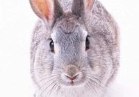 兔子不吃窩邊草的由來?