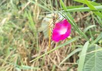民國奇聞軼事:蜻蜓紗衣與日本尋寶隊