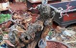 考眼力,哪個樹樁有潛質能培育成精品盆景