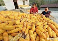 4月份玉米價格出現企穩,5月份玉米價格會出現大漲的行情嗎?玉米價格有理由上漲嗎?