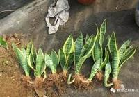 想不到虎尾蘭還有這麼多好的風水寓意!