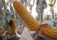 12月7日玉米市場:天兒說冷就冷,深加工企業說跌價就跌價