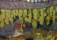 太平洋巨型章魚的生與死
