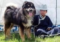 中華田園犬各省名犬