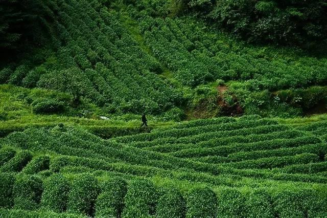 茶旅世界丨野荷谷寒茶基地