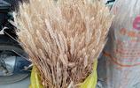 故鄉拆遷,為留住泥土味,莊稼香,兒子每年都從老家帶回兩捆麥子