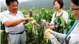 轉基因農業會是未來?農民種出形似草莓的玉米,你敢吃嗎?