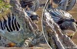 斑馬慘遭鱷魚圍攻,斑馬奮力抵抗成功逃脫!