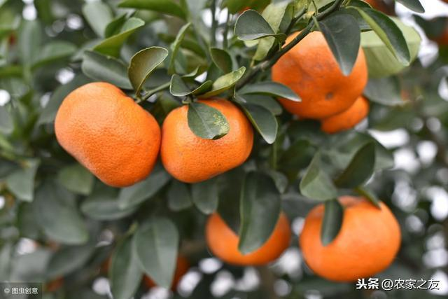 廣西柑橘品種梳理,熱門柑橘品種優缺點介紹,看你適合種哪種柑橘
