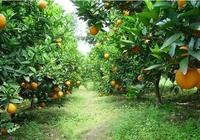 果園可以少打一些除草劑了!手把手教你如何覆草、生草,一鍵收藏
