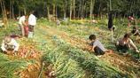 農村老人打工挖洋蔥孩童送飯,一天勞作十小時,挖2千斤掙80元