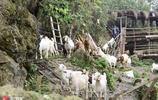 """湖北羊倌深山搭建""""炮樓""""房 大山懸崖峭壁養山羊"""