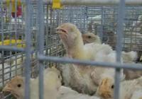 雞群是怎樣出現呼吸道病的,繼發氣囊炎和堵塞該如何處理