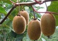 獼猴桃秋冬季怎麼管?如何管?