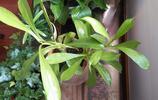 植物圖集:昆蟲殺手豬籠草