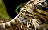 動物圖集:正在玩耍的黑豹