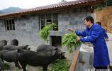 """千萬富翁成""""豬倌"""",400萬投資養黑豬,血粑粑成當地特色美食"""