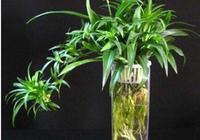 吊蘭換一種方式養,漂亮乾淨,葉綠根壯,3個月就能長爆盆!