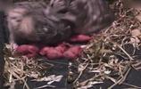 實拍倉鼠生產過程:倉鼠界的好老公