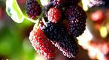 河南農村那些野果野味,你吃過多少種,最喜歡哪一個?