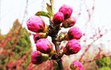 榆葉梅花蕾
