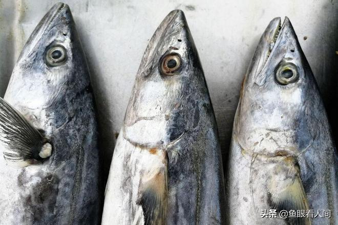 青島本地鮮鮁魚上市 家常大小35元一斤 5斤以上43元一斤 真心貴
