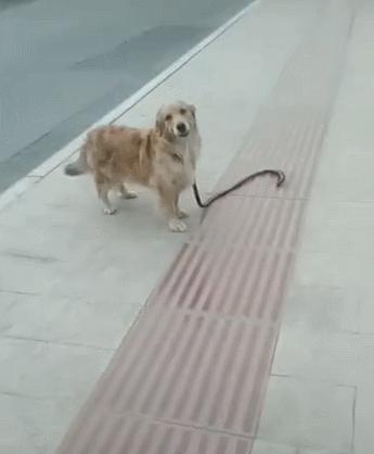 主人扔下金毛繩子,牽柯基走了,金毛:快把繩拿好,別把我弄丟了