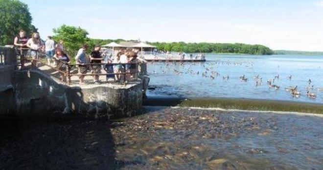 美國鯉魚問題還未解決,這種生物又氾濫了,政府直接派直升機掃蕩