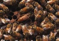 誰是蜂群的主宰?蜂王還是工蜂?