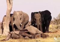 象群圍著死去同伴,久久不捨離開!