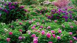萬家流水一城花,總領群芳洛陽牡丹,雍容華貴,競誇天下無雙豔