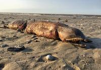"""""""哈維""""颶風過後 美國一海灘現不明生物屍體"""