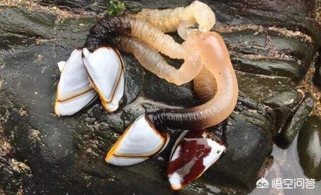 海邊村民在波濤洶湧的岩石縫中扣出的狗爪螺,一斤賣200元你吃過嗎?好吃嗎?