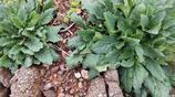 農村裡不起眼的植物,居然是價值很高的草藥,青蛙草你聽說過嗎?