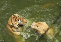 獅虎之爭,誰才是百獸之王?