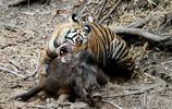 一組圖片瞭解動物世界的殘忍法則:弱肉強食,適者生存