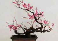 盆景製作:梅花盆景的幾種造型樣式