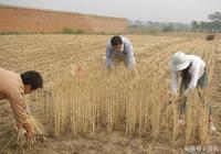 小麥市場收購積極 後市小麥價格將會大漲!小麥價格1.18元/斤?