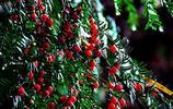 冬天如何養好紅豆杉?其實能做到這一步就很不錯了