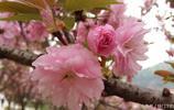 一路攝影:櫻花美的不是本身,而是彼此擁擠,一層一層的美麗!