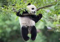 蚩尤的坐騎食鐵獸,很有可能是這種動物,大家都誤會大熊貓了