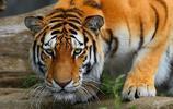 動物世界中的獅虎相鬥