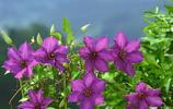 鐵線蓮花,高潔,美麗的心!