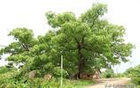 江西永新最大的樟樹,簡直是獨樹成林!