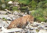 驚喜!甘孜爐霍縣境內發現大型花豹 體長超過1米