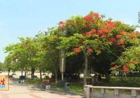 陽江市區景觀樹——鳳凰木