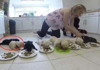 拉拉一口氣生了10只,主人把奶狗排成一字形吃飯,被萌化了